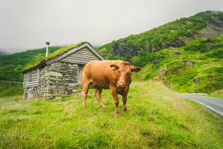 Funny brown cow on green grass in a field on nature in scandinavia. Cattle amid heavy fog and mountains with a waterfall near an old stone hut in Norway. Agriculture in Europe. Banco de Imagens