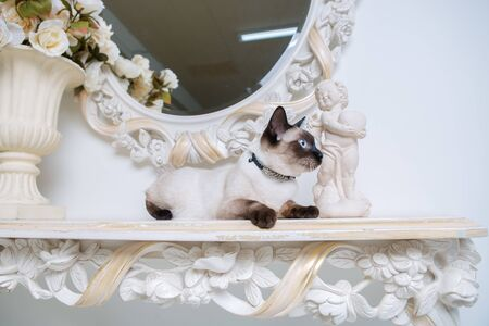 two color cat without tail Mekong Bobtail breed with jewel precious necklace of pearls around neck. Cat And necklace. Blue eyed Female Cat of Breed Mekong Bobtail, Sitting with gems on the neck.