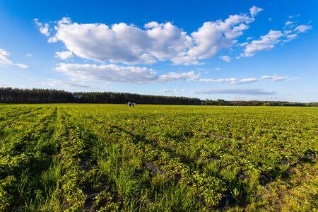 krzew jagód, krzewy z przyszłymi jagodami na tle błękitnego nieba. Gospodarstwo z jagodami. Ukraina.
