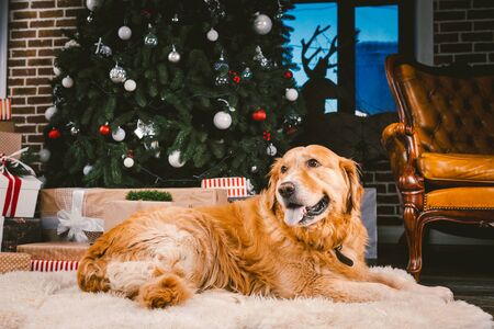Golden Retriever dog in Christmas. Cute dog on Christmas tree background. Christmas Dog Retriever Lying Under New Year Tree, Beautiful Xmas Animal. heme Christmas and New Year and domestic pet.