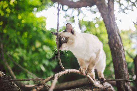 Cat climbing tree. cat hunts on tree. adorable cat portrait stay on tree branch. purebred shorthair cat without tail. Mekong Bobtail sitting on tree. animal hencat on branch in natural conditions. Stok Fotoğraf