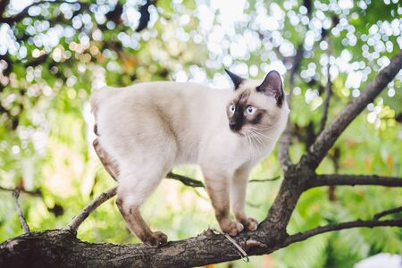 Cat climbing tree. cat hunts on tree. adorable cat portrait stay on tree branch. purebred shorthair cat without tail. Mekong Bobtail sitting on tree. animal hencat on branch in natural conditions. Stock Photo