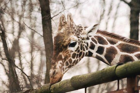 Portrait of a young male Reticulated Giraffe, Giraffa camelopardalis reticulata. Close up portrait of Masai giraffe. Giraffe head detail. Imagens