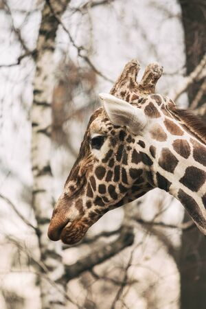Portrait of a young male Reticulated Giraffe, Giraffa camelopardalis reticulata. Close up portrait of Masai giraffe. Giraffe head detail. 版權商用圖片