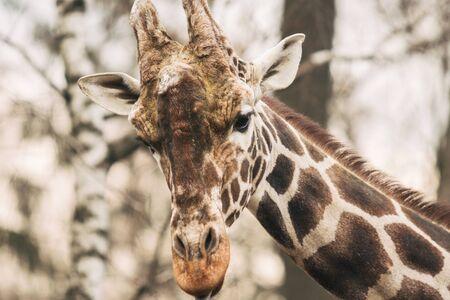 Portrait of a young male Reticulated Giraffe, Giraffa camelopardalis reticulata. Close up portrait of Masai giraffe. Giraffe head detail. Stock Photo