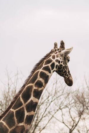 Portrait of a young male Reticulated Giraffe, Giraffa camelopardalis reticulata. Close up portrait of Masai giraffe. Giraffe head detail.