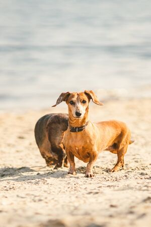 two dachshund play on the beach. two small dogs playing together outdoors. Dachshunds two dogs of the river. Two Dachshund Dogs Playing. Stock Photo