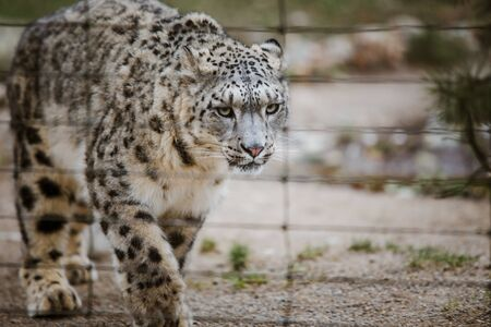 An adult snow leopard walks through its territory close up, view through the cage at the Basel Zoo in Switzerland. Cloudy weather in winter.