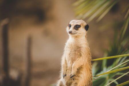 Meerkat on hind legs. Portrait of meerkat standing on hind legs with alert expression. Portrait of a funny meerkat sitting on its hind legs on a wooden hemp near a palm tree. Foto de archivo