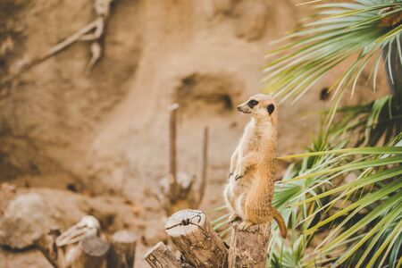Meerkat on hind legs. Portrait of meerkat standing on hind legs with alert expression. Portrait of a funny meerkat sitting on its hind legs on a wooden hemp near a palm tree.