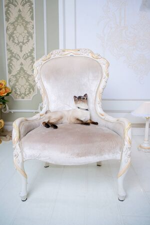 Lovely two-tone cat, Mekong Bobtail breed, posing on an expensive vintage chair in the interior of Provence. Cat and necklace on the neck.