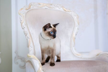 The theme of wealth and luxury. The impudent narcissistic cat of breed Mekong Bobtail poses on a vinage chair in an expensive interior. Thai cat with no tail and jewelry. Decoration on the neck.
