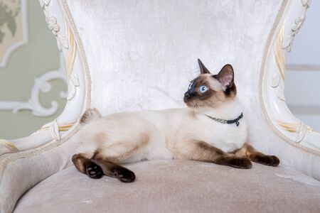 Mekong bobtail adult cat female. Beautiful breed cat Mekongsky Bobtail. pet cat without tail sitting on chic armchair. retro baroque chair in a royal French interior. cat sitting on antique chair.