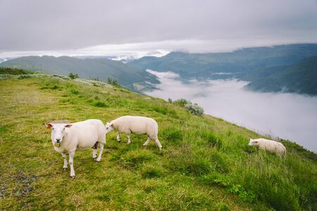sheeps on mountain farm on cloudy day. Norwegian landscape with sheep grazing in valley. Sheep on mountaintop Norway. Ecological breeding. Sheep eat boxwood. Ewe sheep grazing on pasture in mountain. 免版税图像