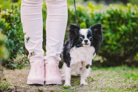 dog sitting at owners feet. Close up of chihuahua dog. Chihuahua dog guards the owner. Female legs and little funny long hair dog, black and white color in the park. theme friendship man and animal. Archivio Fotografico