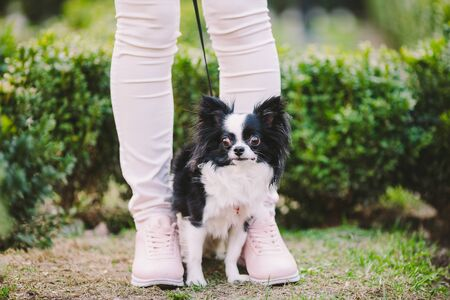 dog sitting at owners feet. Close up of chihuahua dog. Chihuahua dog guards the owner. Female legs and little funny long hair dog, black and white color in the park. theme friendship man and animal.