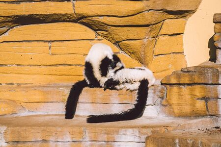 two black and white vari monkey playing on a rock. Lemurs vari have fun actively relax in sunny weather. Black and white. Wari, varecia.