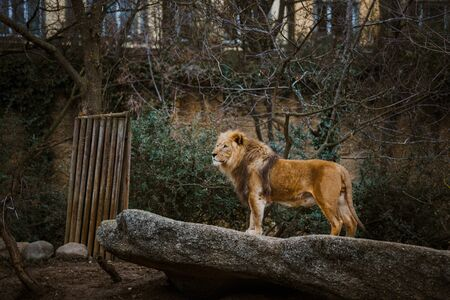 Proud Lion. Beautiful lion standing on a ston. Single lion looking regal standing proudly on a small hill. The king of beasts, a lion stands on a dais and looks into the distance at his domain.