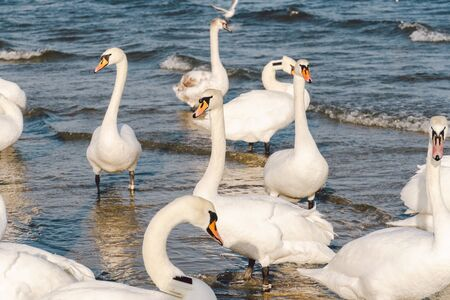 Swans and seagulls at the Baltic sea beach in Sopot, Poland. Seabirds winter in the open sea bay. Swans on winter sea.