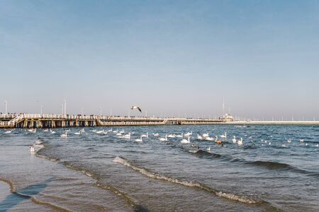 Swans and seagulls on the Baltic sea in winter, spot city Poland. Many seabirds, gulls and a swan, eat near the shore. Many birds in the sea coast, wild life picture. concept, aquatic birds, outdoors. Imagens