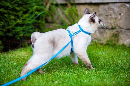 Young cat Siam oriental group Mekong bobtail walks in grass on blue leash. Pets walking outdoor adventure in park. Training, portrait. short haired cat, seal point color with blue eyes on lawn. Archivio Fotografico