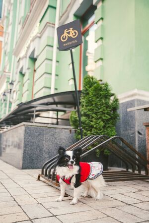 Dog waiting for owner, tied to a bicycle parking rack. Chihuahua waiting for his owner on dog parking area. Bicycle parking sign. Public bicycle parking on the sidewalk. Dog Waiting Outside. Banco de Imagens
