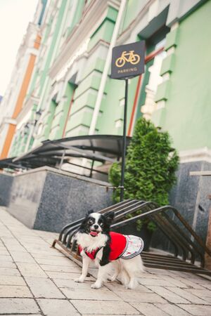 A small funny black and white chihuahua breed dog is tied to a bicycle parking lot in the city. Chihuahua in a dress near the sign cycling parking. Pet is waiting for the owner on the street.
