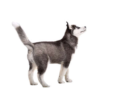 Siberian Husky puppy, 3 months old in front of white background. Siberian Husky isolated on white background. Studio shot of a funny husky puppy in black and white color. Beautiful cute husky puppy.