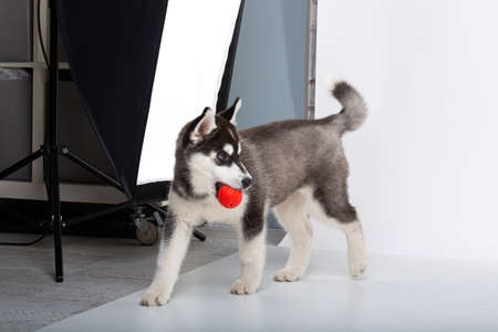 Funny black-white wool puppy purebred husky female puppy on white isolated background in studio. Smiling face of domestic pure bred dog with pointy ears. Cute small dog with fur like woolf, posing. Stockfoto