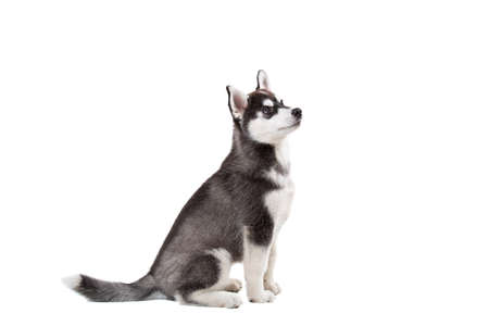 Funny black-white wool puppy purebred husky female puppy on white isolated background in studio. Smiling face of domestic pure bred dog with pointy ears. Cute small dog with fur like woolf, posing.