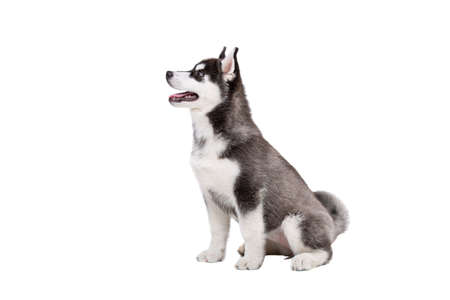 Cute little husky puppy isolated on white background. Studio shot of a funny black and white husky puppy, age 3 months on a white wall background. Baby female purebred dog siberian husky. Stockfoto