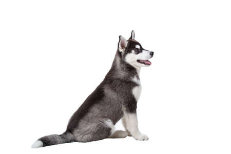 Cute little husky puppy isolated on white background. Studio shot of a funny black and white husky puppy, age 3 months on a white wall background. Baby female purebred dog siberian husky.