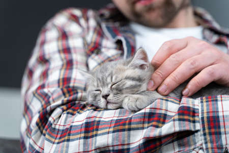 Caucasian male holds small cute gray Scottish Straight kitten in arms that falls asleep at home on couch. Man hands safely hold tiny sleeping British Purebred fluffy kitten. Newborn cat, kid animal. Stock fotó