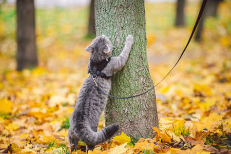 Male cat domestic gray wool stripes young good shape, dressed cat leash harness climbs a tree for hunting bird, attentive focused look and claws are visible, close-up on the outside bright daylight.