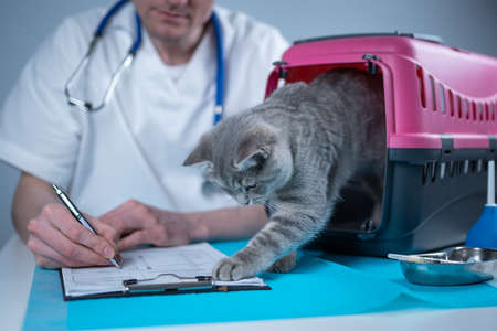 Cat in pet carrier on examination table of veterinarian clinic with pet doctor. Male veterinarian in white medical suit making notes at examination table and have fun with Scottish Straight kitten. Reklamní fotografie