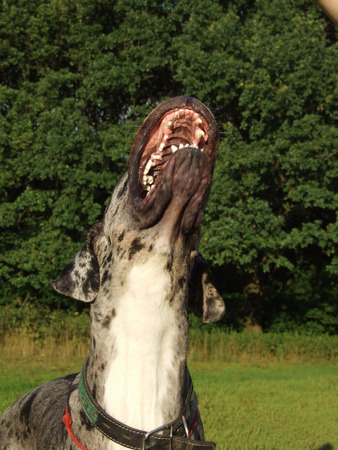 bared teeth: Great dane catching a ball. Lower jaw in motion