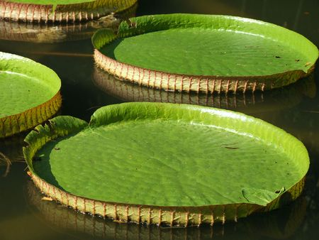 Waterlily in Sukhum botanic garden, Georgia photo