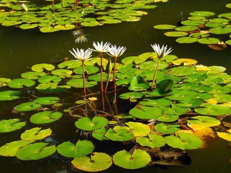 lilypad: water lilies in sukhum botanic garden, georgia