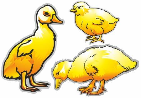 birds poultry ducks geese chicken yellow beak wings legs ear feathers fluff