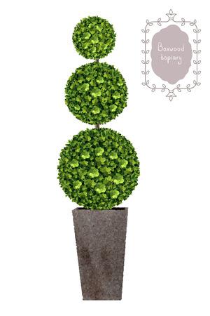 Boxwood topiary, garden plant, vector background. English boxwood, evergreen dwarf shrubs. Shrub for landscape.