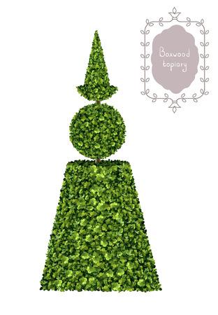 Boxwood topiary, garden plant illustration