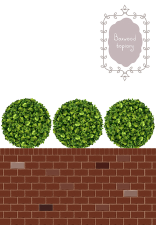 Ball boxwood topiary and brick wall, garden plant, vector background. English boxwood, evergreen dwarf shrubs. Shrub for landscape.