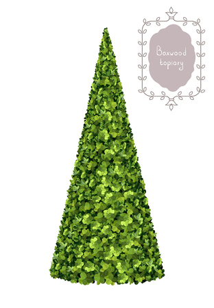 Isolated boxwood pyramid, boxwood topiary, garden plant, vector background. English boxwood, evergreen dwarf shrubs. Shrub for landscape. Иллюстрация