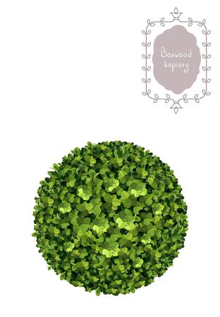 Ball boxwood topiary, garden plant, vector background. English boxwood, evergreen dwarf shrubs. Shrub for landscape. Ilustracja