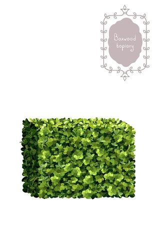 Boxwood topiary, border, garden plant, vector background. English boxwood, evergreen dwarf shrubs. Shrub for landscape. Ilustracja