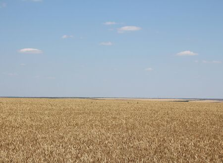 large field of ripe barley Banco de Imagens
