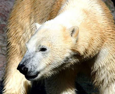 Polar Bear Banco de Imagens