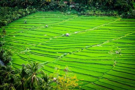 Lignes belles terrasse rizière Banque d'images