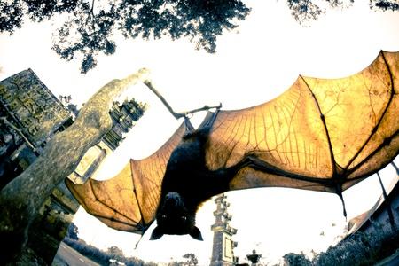 pteropus: A big bat wings opened
