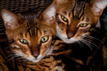 2 bengal cats faces side by side